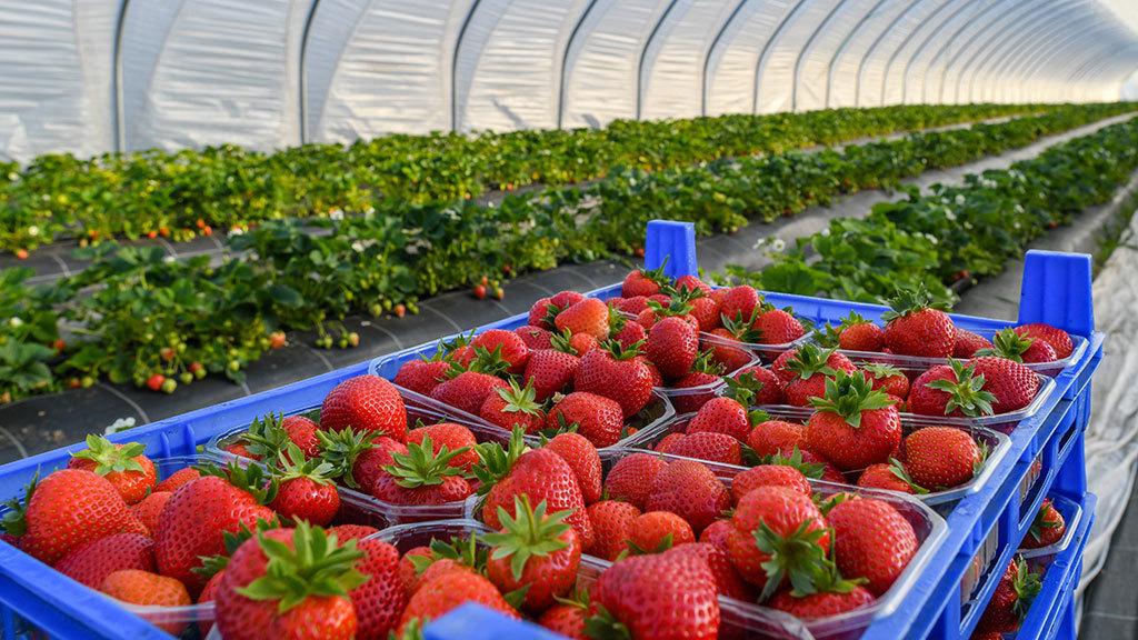 Акционер холдинга «Адамант» займется выращиванием клубники
